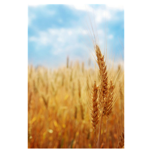 What is the Ancient Wheat?